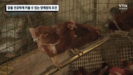 닭을 건강하게 키울 수 있는 양계장의 조건