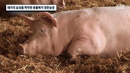 돼지의 습성을 파악한 동물복지 양돈농장