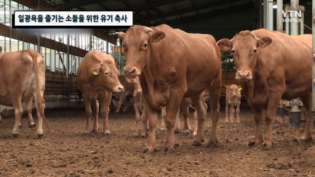 일광욕을 즐기는 소들을 위한 유기 축사