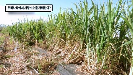 우리나라에서 사탕수수를 재배한다?