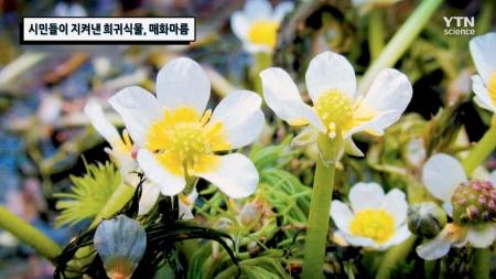 시민들이 지켜낸 희귀식물, 매화마름