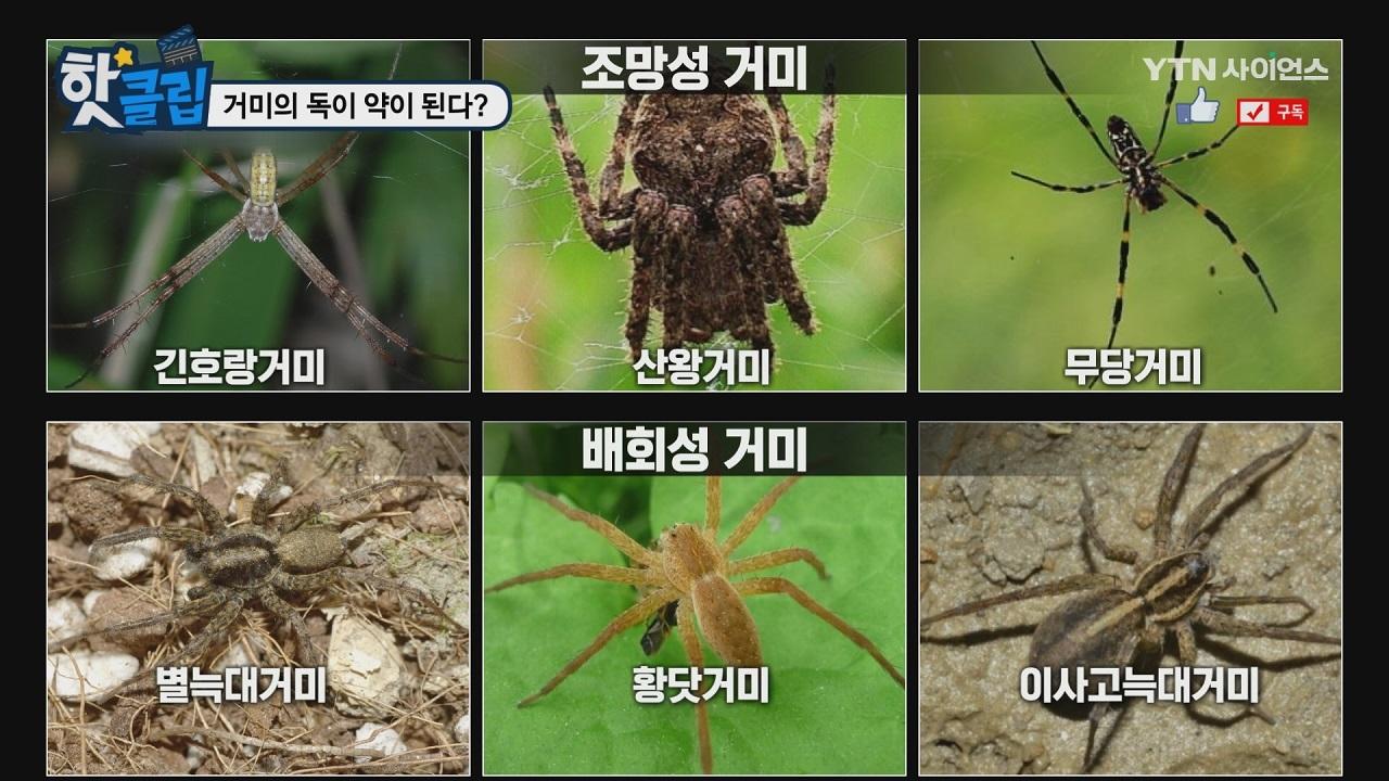 거미의 독이 약이 된다?