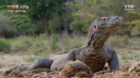 거대동물 X파일_5회 끈질긴 생존의 비밀, 코모도왕도마뱀과 아나콘다