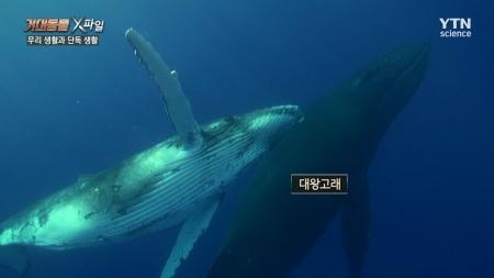 거대 동물 X파일_6회 무리 생활과 단독생활 (향유고래와 백상아리)