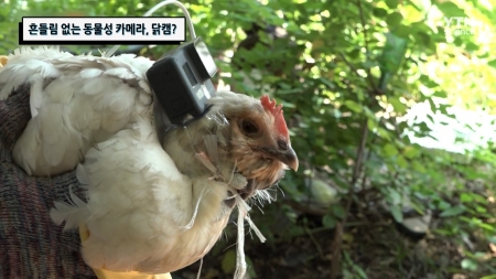 흔들림 없는 동물성 카메라, 닭캠?