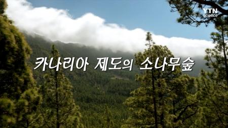 15. 카나리아 제도의 소나무 숲