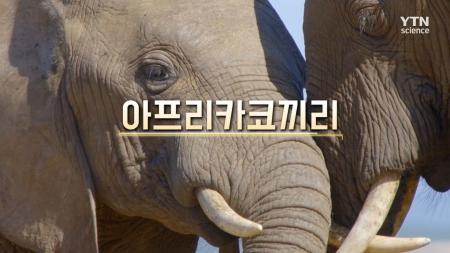 11회 아프리카코끼리