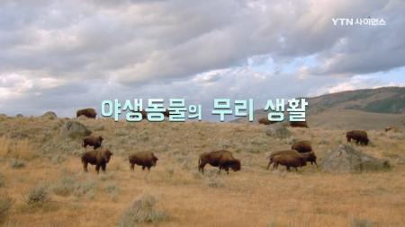 야생 동물 가족 생존기_10회 야생동물의 무리 생활