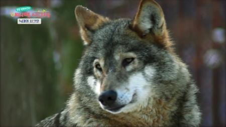 [시크릿 주주] 카리스마 넘치는 늑대의 놀라운 시크릿!