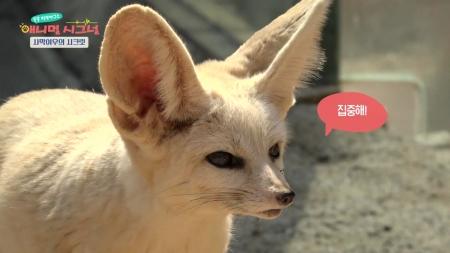 [시크릿 주주] 누구든 홀릴 수밖에 없는 깜찍한 여우, 사막여우의 시크릿!