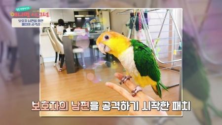 [애니멀 시그널] 보호자의 남편만 공격하는 앵무새! 질투의 화신 패치