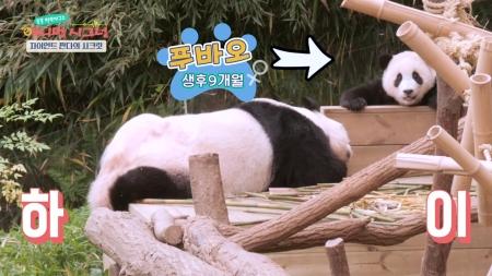 [시크릿 주주] 한국 최초로 태어난 아기 판다, 푸바오! 귀염둥이 판다의 시크릿!
