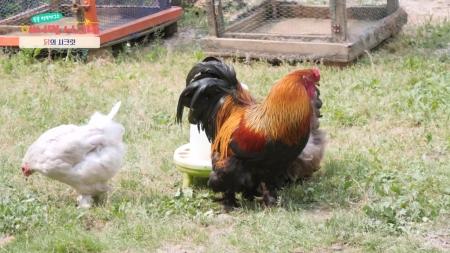 [시크릿 주주] 아침을 여는 동물, 닭의 시크릿