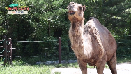 [시크릿 주주] 무더위에 최적화 된 낙타의 특급 시크릿